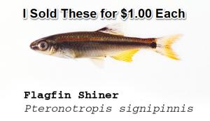 Flagfin Shiner